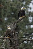 Eagles in barren tree. Stock Images