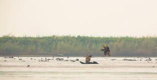 Eagles Blanc-coupé la queue à la lagune Photographie stock libre de droits