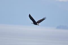 Eagles calvo Fotografie Stock