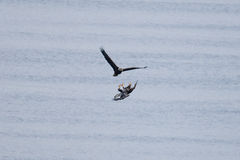 Eagles calvo Foto de Stock Royalty Free