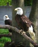 Eagles calvo Imagem de Stock