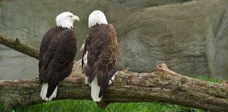 Eagles calvo Immagine Stock
