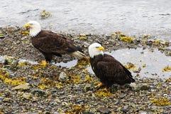 Eagles calvo Fotografía de archivo
