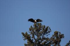 Eagles calvo Immagini Stock Libere da Diritti