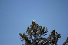 Eagles calvo Immagini Stock