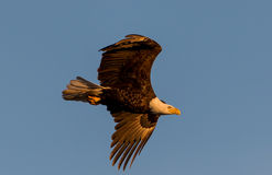 Eagles calvo Immagine Stock Libera da Diritti