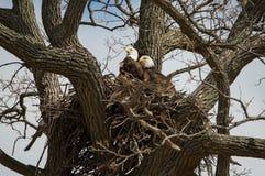 Eagles calvo Fotografia Stock Libera da Diritti