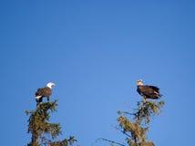 Eagles calvo Foto de Stock