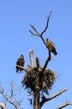 Eagles calvo acerbo al nido Immagine Stock