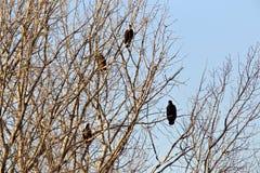 Eagles calvo in albero Immagini Stock