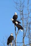 Eagles calvo americano Imagens de Stock Royalty Free