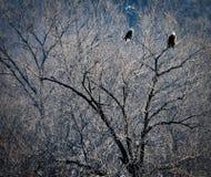 Eagles calvo appollaiato sul fondo delle filiali di albero Immagini Stock Libere da Diritti