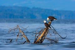 Eagles calvo che si siede sul ceppo di albero, isola di Vancouver della Columbia Britannica, Canada Fotografia Stock