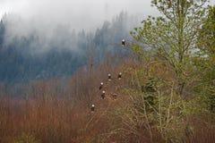 Eagles calvo en un árbol Fotos de archivo libres de regalías