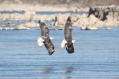 Eagles calvo maestoso Fotografia Stock Libera da Diritti