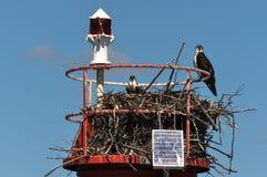 Eagles calvo nel nido, Gananoque, Ontario, Canada Fotografia Stock Libera da Diritti