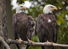 Eagles calvo principal branco na árvore Washington Fotos de Stock