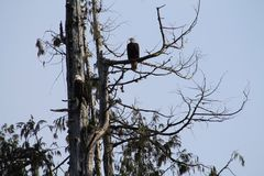 Eagles calvo que se sienta en árbol Imagen de archivo libre de regalías