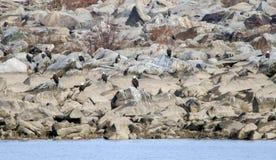 Eagles calvo se encaramó en rocas en la presa de Conowingo en el río Susquehanna, Maryland, los E.E.U.U. Imagen de archivo