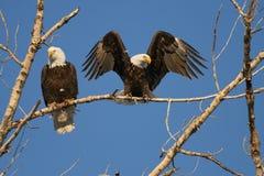 Eagles calvo se reclina sobre árbol