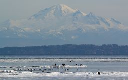 Eagles calvo su ghiaccio Fotografie Stock Libere da Diritti