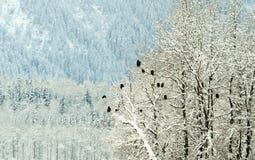 Eagles calvo sugli alberi Fotografia Stock