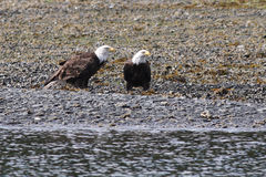 Eagles calvo sulla spiaggia Immagine Stock