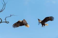 Eagles calvo in volo Immagini Stock Libere da Diritti