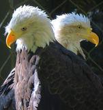 Eagles in Captivity for Rehabilitation Stock Photos