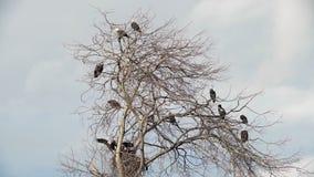 Eagles chauve était perché dans un arbre 4K UHD banque de vidéos