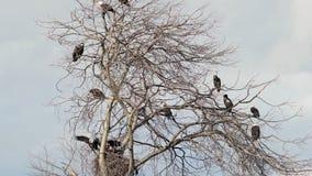 Eagles chauve était perché dans un bourdonnement 4K UHD d'arbre clips vidéos