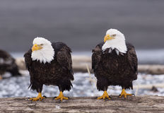 Eagles chauve Photographie stock