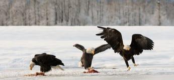 Eagles chauve photographie stock libre de droits