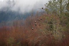 Eagles chauve dans un arbre Photos libres de droits