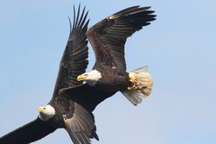 Eagles chauve (leucocephalus de haliaeetus) Photo stock