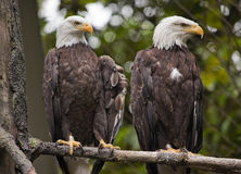 Eagles chauve principal blanc dans l'arbre Washington Photos stock