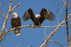 Eagles chauve se reposent sur l'arbre Photos libres de droits