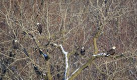Eagles chauve sur l'arbre au parc national Image libre de droits