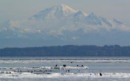 Eagles chauve sur la glace Photos libres de droits