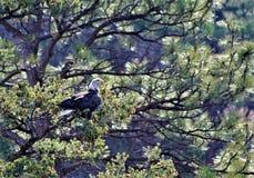 Eagles che si siede e che si appollaia su fotografia stock libera da diritti