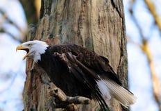Eagles chiama immagini stock libere da diritti