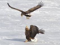 Eagles conflict Royalty Free Stock Image