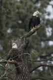 Eagles dans l'arbre stérile Images stock