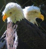 Eagles in der Gefangenschaft für Rehabilitation Stockfotos