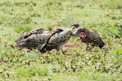 Eagles die organen van een dier eten Stock Foto's