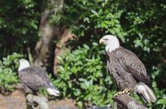 Eagles empoleirado Foto de Stock Royalty Free