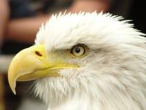 Eagles Eye. White Feathers Eagles Eye Yellow Stock Photography