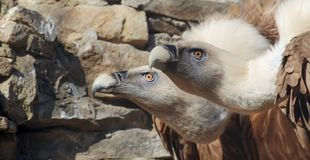 Eagles family vultures portrait on stone background. Close-up. Unrecognizable place. Selective focus stock image