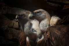 Eagles family vultures portrait on stone background. Close-up. Unrecognizable place. Selective focus royalty free stock photography