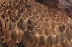 Eagles feathers Royalty Free Stock Photos